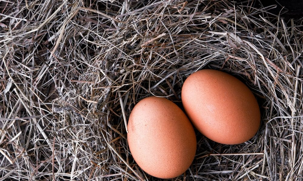 Top Reasons Why Chickens Are Not Laying Eggs