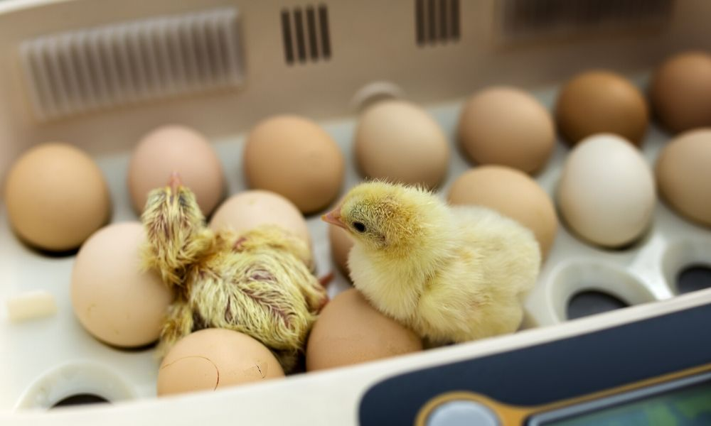 How Does a Chicken Incubator Work?