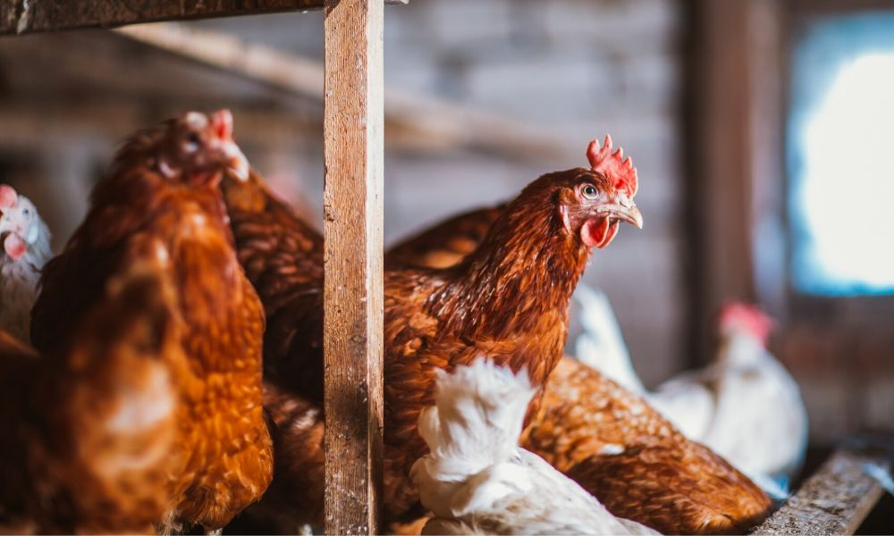Guide to Introducing New Chickens to Your Flock